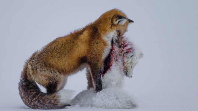 داستان دو روباه، بهترین عکس حیات وحش سال شد