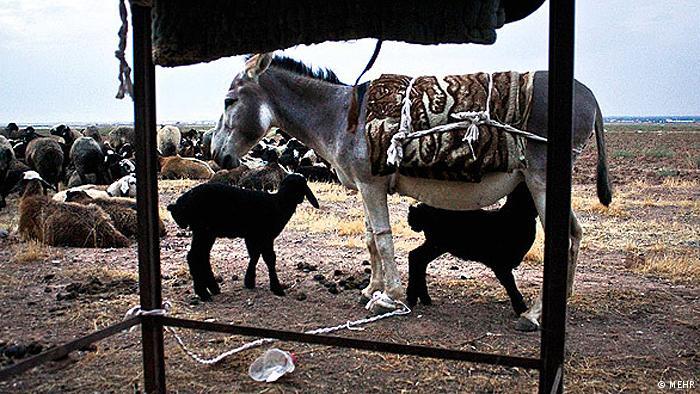 در ایران هم این خر دو بره را که مادرشان به هنگام تولد مرده بود را به فرزندی پذیرفته بود و ماهها به آنها شیر میداد.