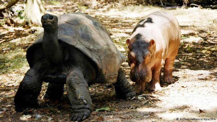 اما پدیده پذیرفتن فرزند در میان حیوانات هم دیده میشود و گاه ابعاد عجیبی به خود میگیرد. در پارک حیات وحش مومباسا در کنیا این لاکپشت که تخمگذار است یک اسب آبی که چند ماه بیشتر از تولدش نمیگذرد را به عنوان فرزند خود پذیرفته است.