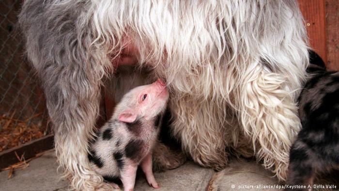در سوئیس این سگ با وجود آنکه خود سه توله دارد، یک خوکچه را به فرزندی پذیرفته و به آن شیر میدهد.