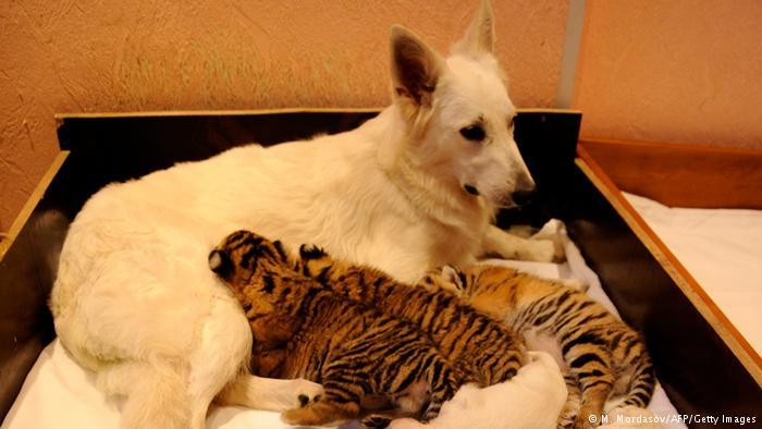 این سگ در سوچی روسیه سه توله ببر را به فرزندی پذیرفته و به آنها شیر میدهد.
